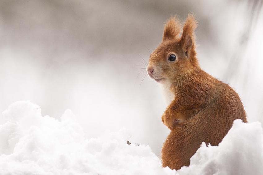 01-Eichhörnchen im ersten Schnee