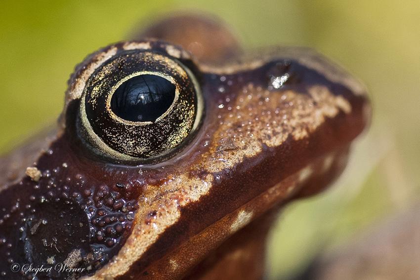 Grasfrosch-Auge