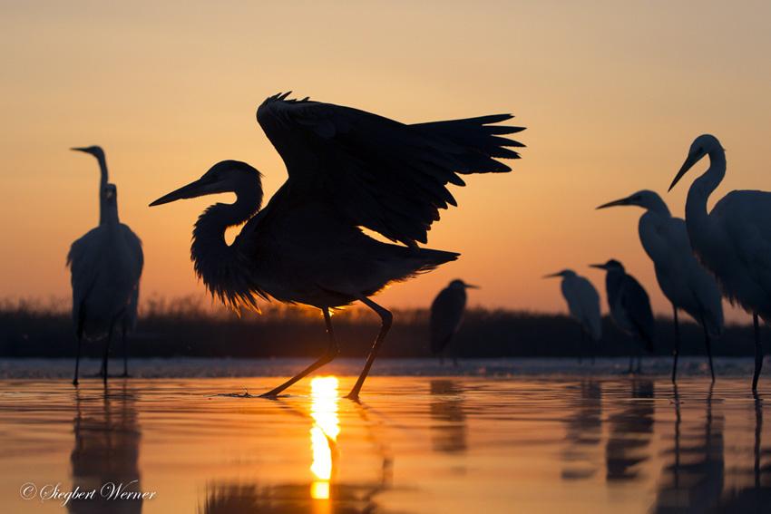 Reiher-Abendsonne