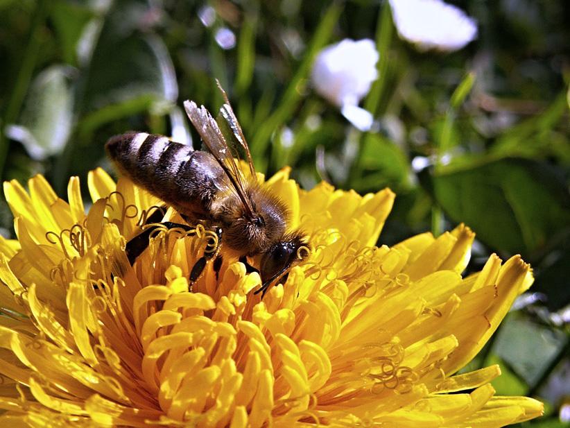 Biene-klein