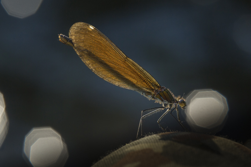 Libelle-10-klein