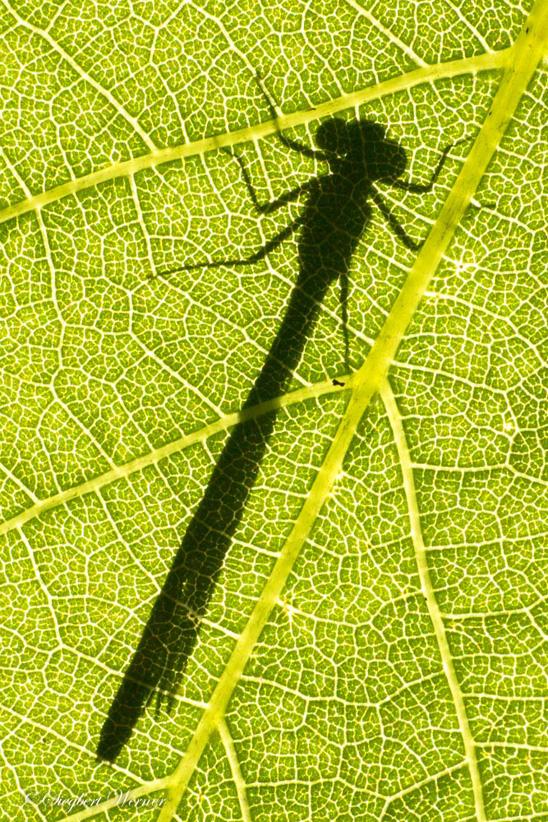Libelle-11-klein