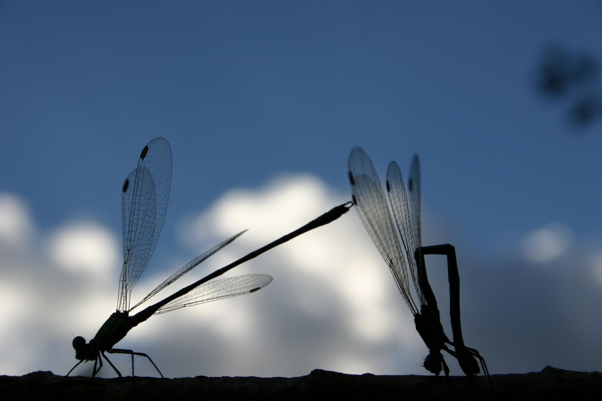 Libelle-5-klein