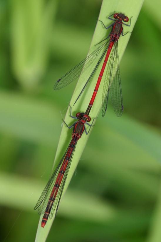 Libelle-8-klein