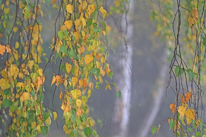 Birkenvorhang_traurugeBirken-klein