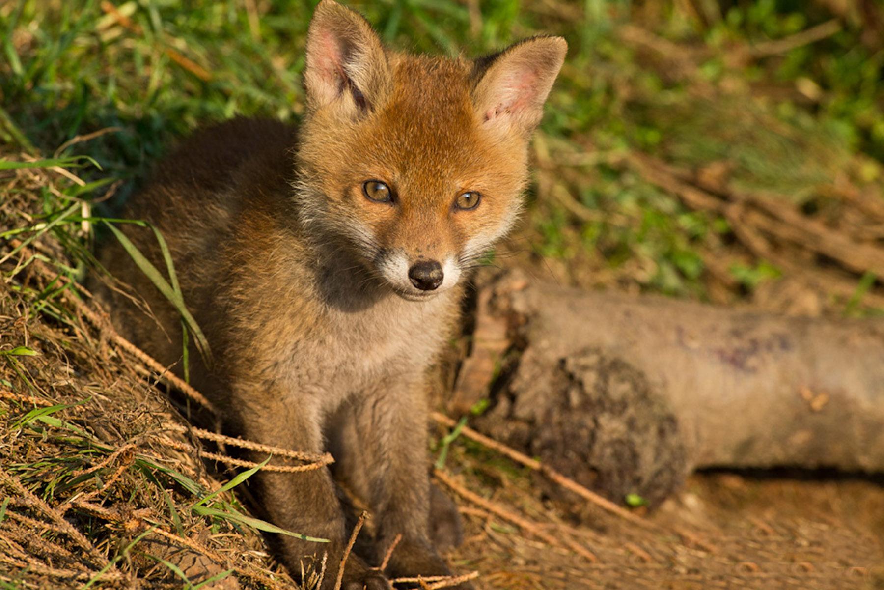 Fuchs-3-klein