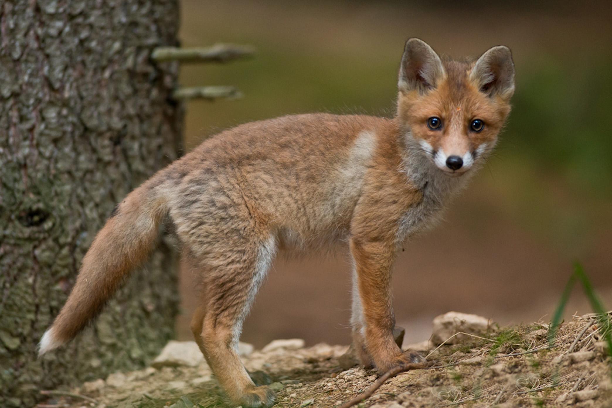 Fuchs-5-klein