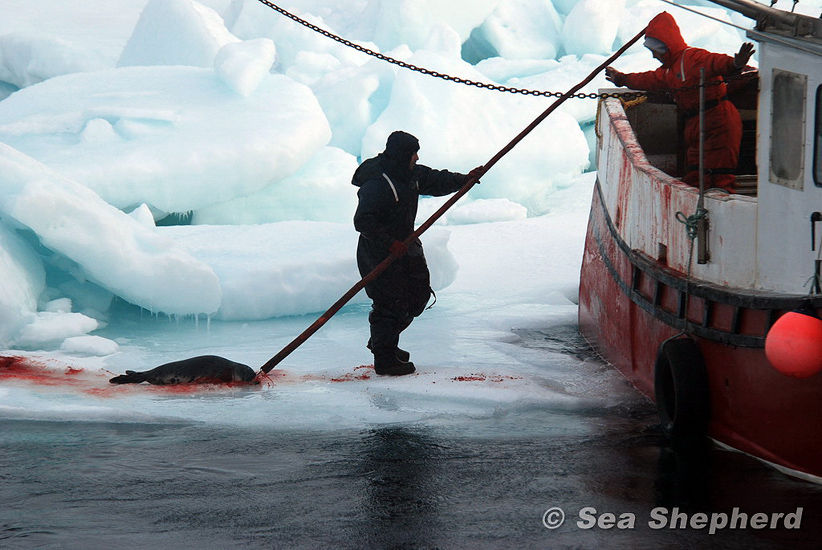 hunter dragging a dead seal onto a ship