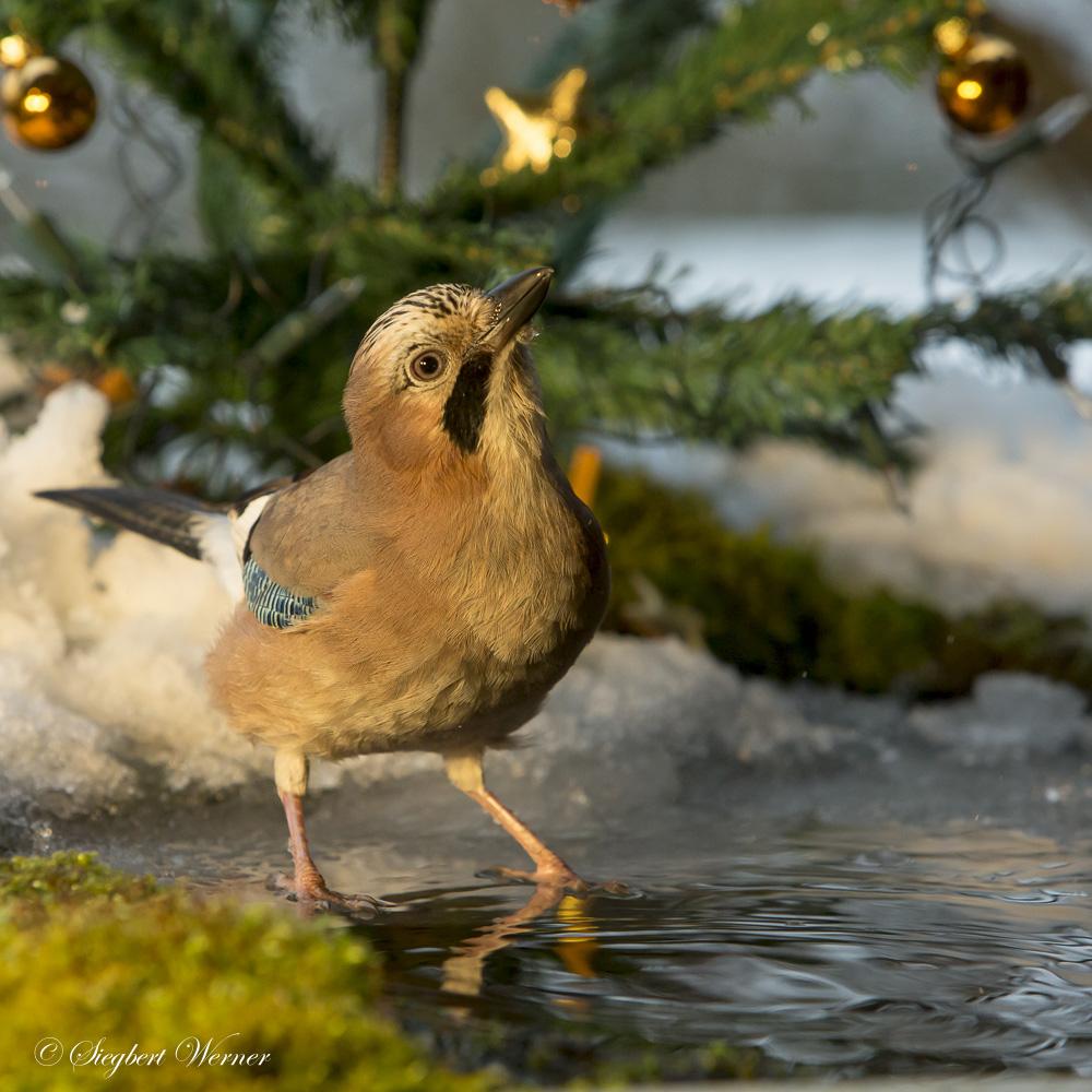 02-Vogel-Weihnacht _W_M199530. Dezember 2014