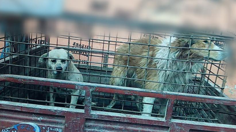 Klein-Hund-Käfig- Hundeleder-China-Standbild001-c-PETA-Asia