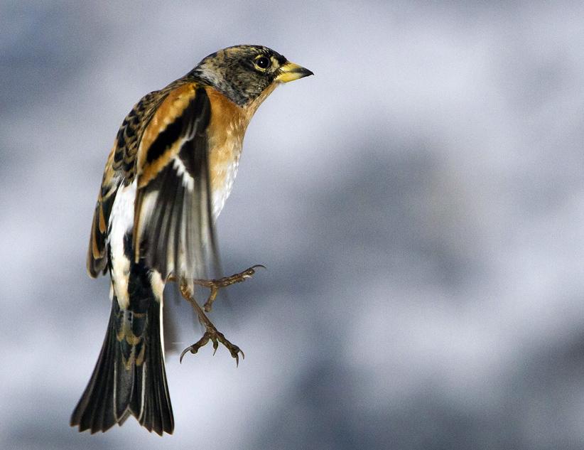 03-Bergfinken-klein