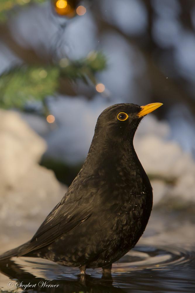 1-Vogel-Weihnacht _W_M203330. Dezember 2014