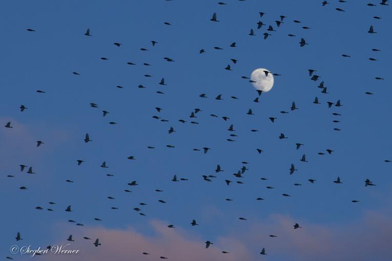 Siegbert-Bergfink mit Mond-klein
