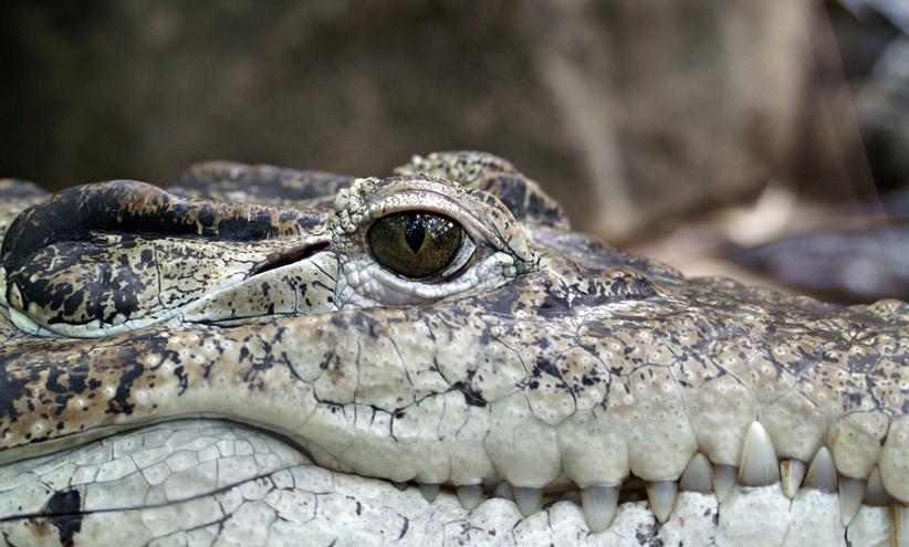 crocodile-klein