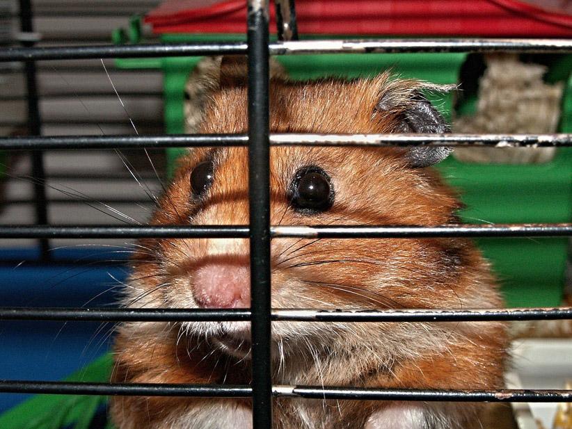 hamster-klein