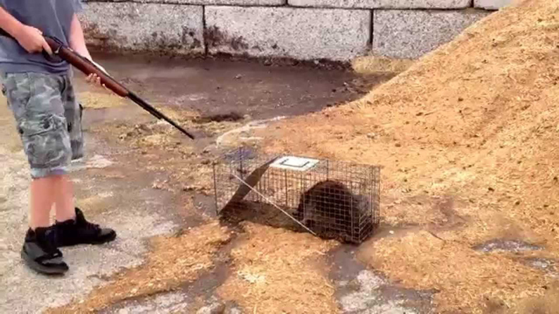 Shooting raccoon in live trap-klein