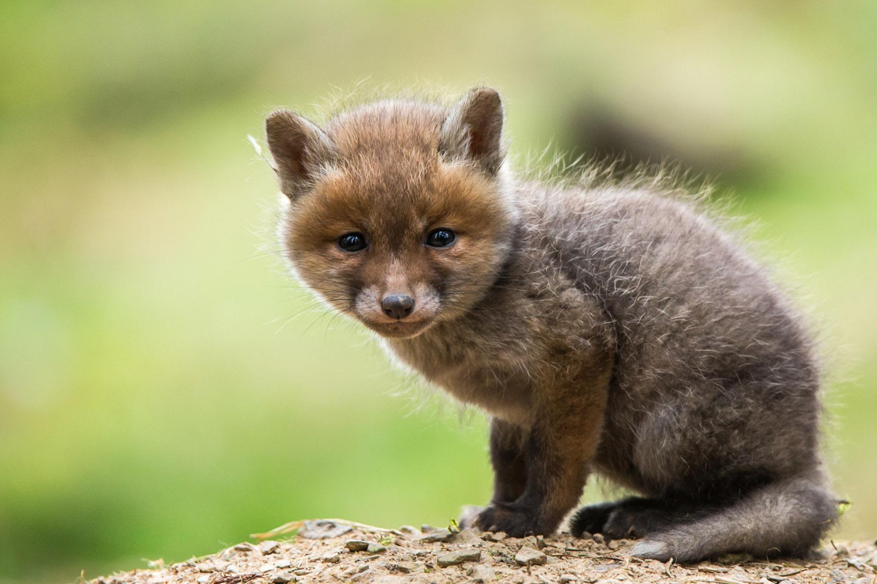 Baby-Fuchs-klein