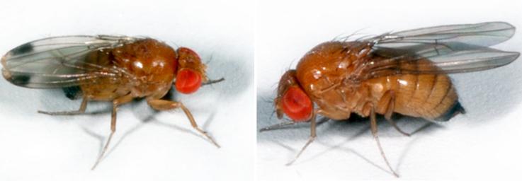 Kirschessigfliege-klein