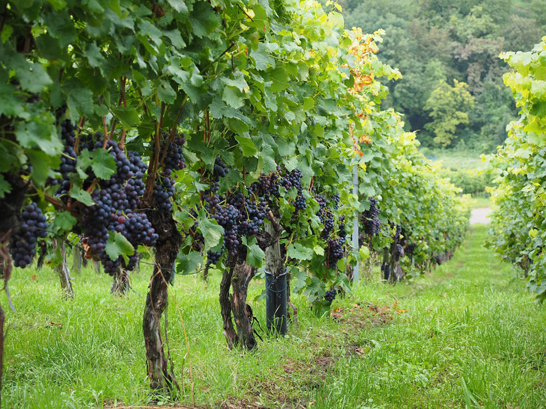 vineyard-694197_1280-klein