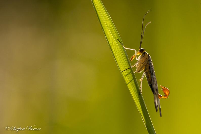 1-Skorbionsfliege-klein