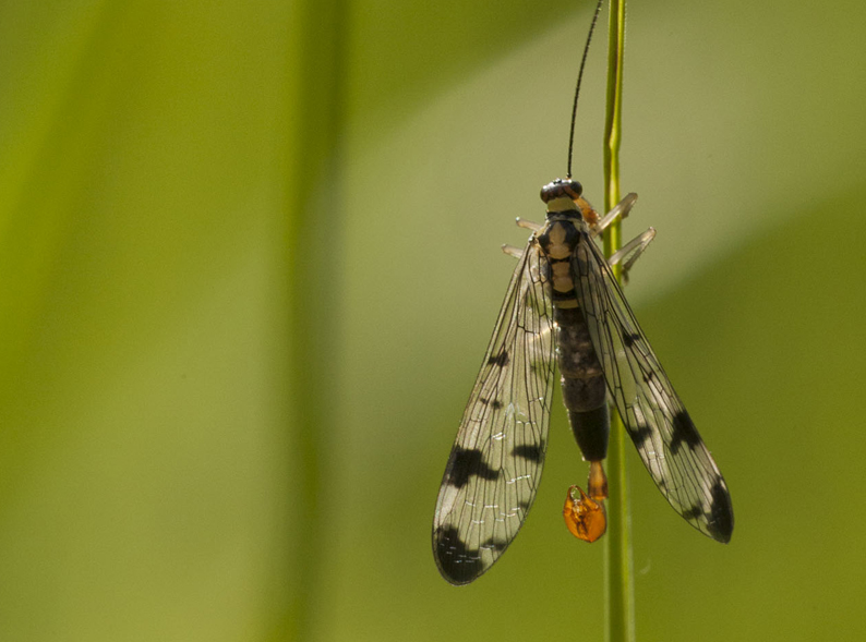 2-Skorbionsfliege-klein
