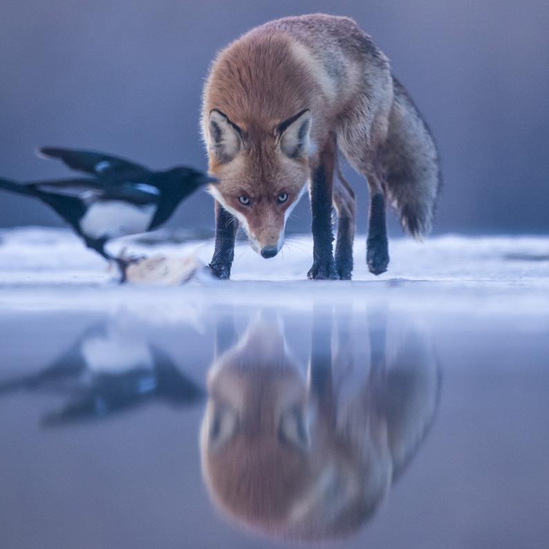 Eis-Fuchs--quadratisch-Klein