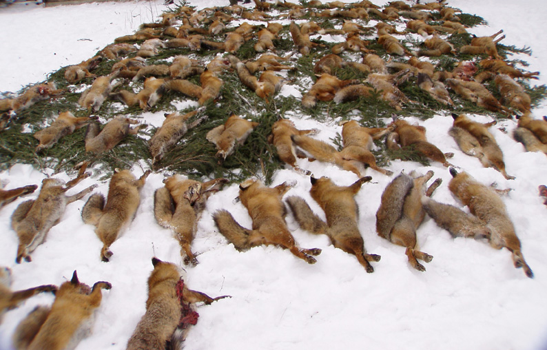 Fuchsmassaker-2-klein