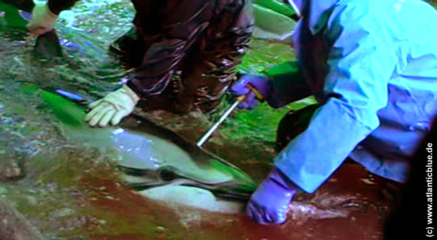 New dolphin killing methode