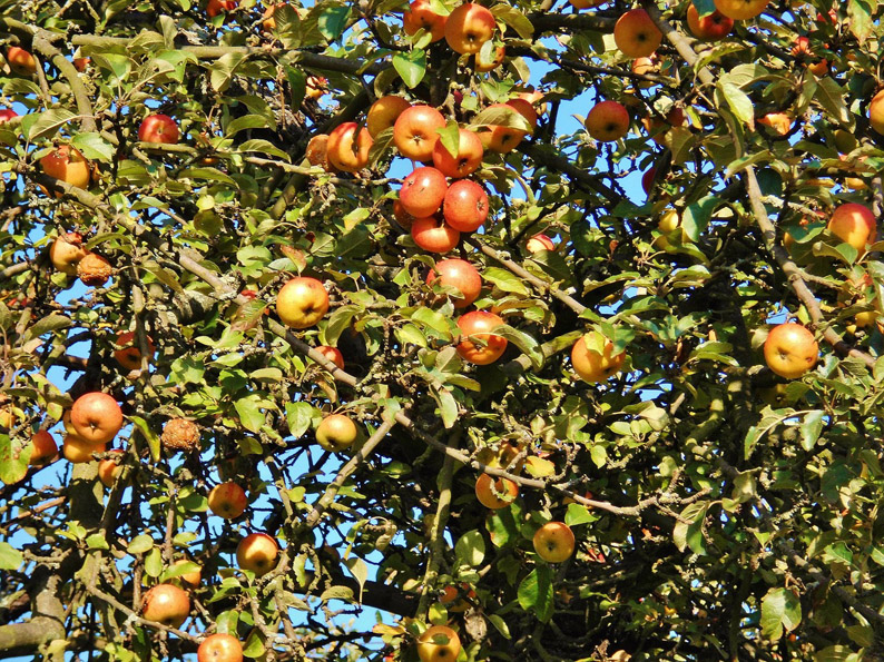 apple-tree-klein-493292_1280