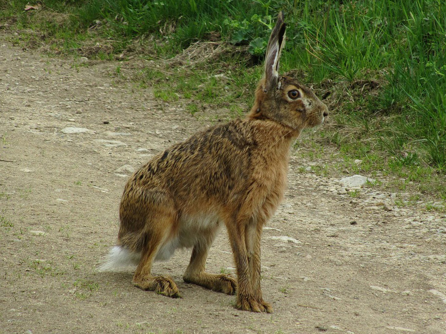 hare-177669_1280