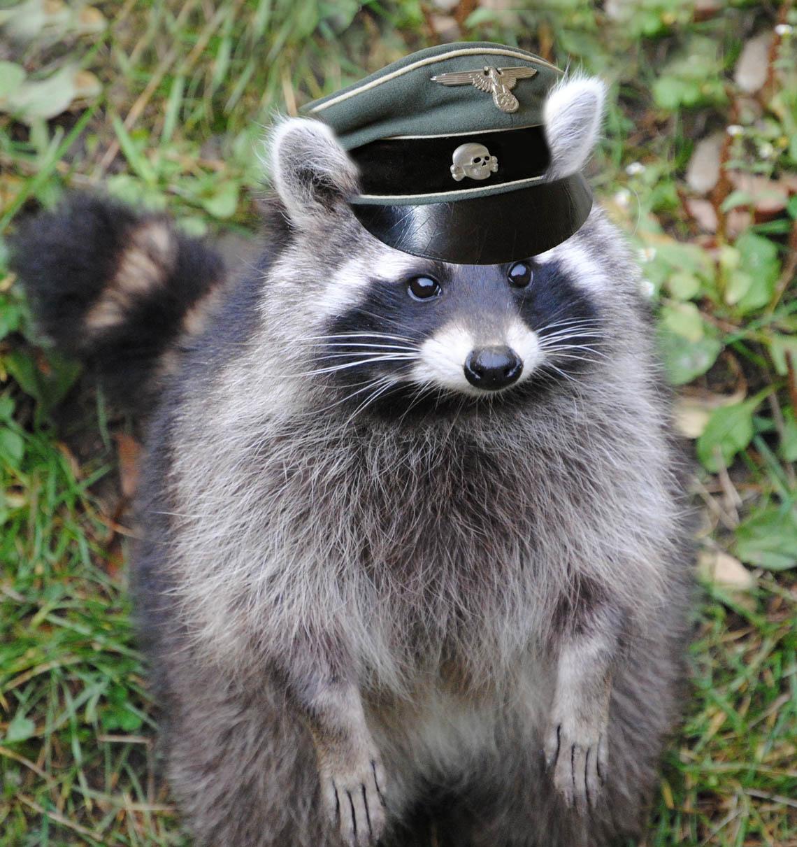 raccoon-klein193647