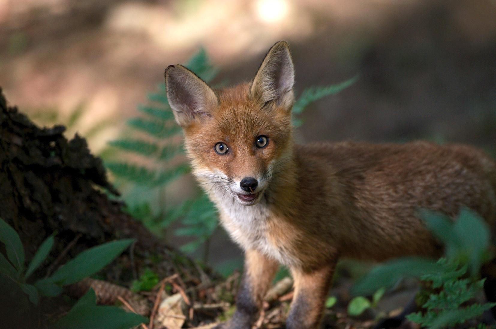 Fuchs-1-klein