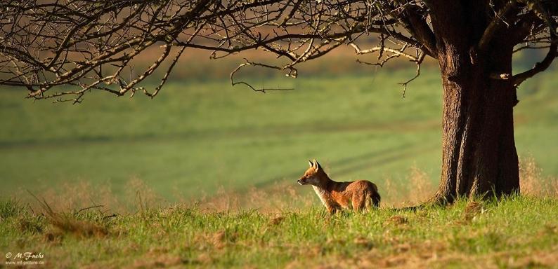 24-Fuchs-klein