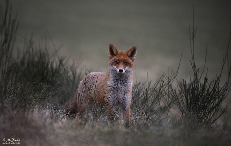 29-Fuchs-klein