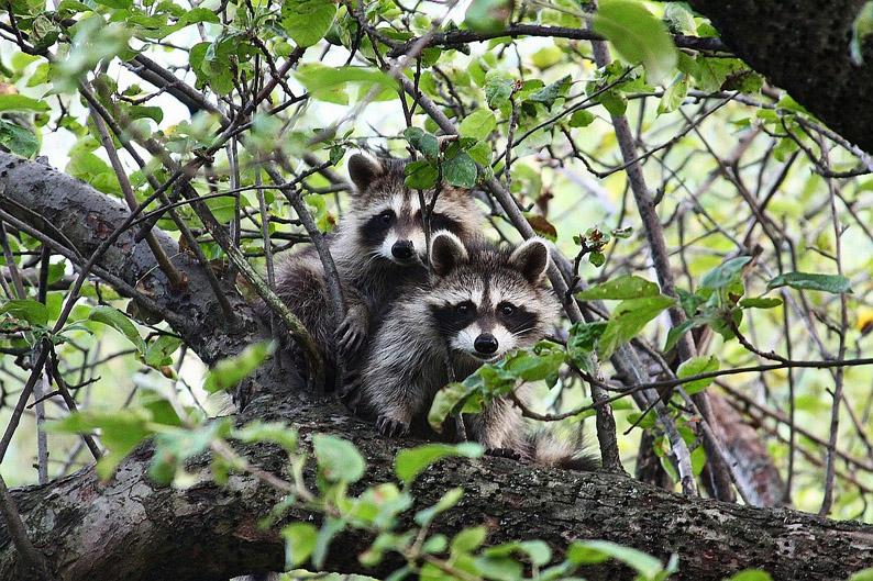 Baum-Racoon-klein