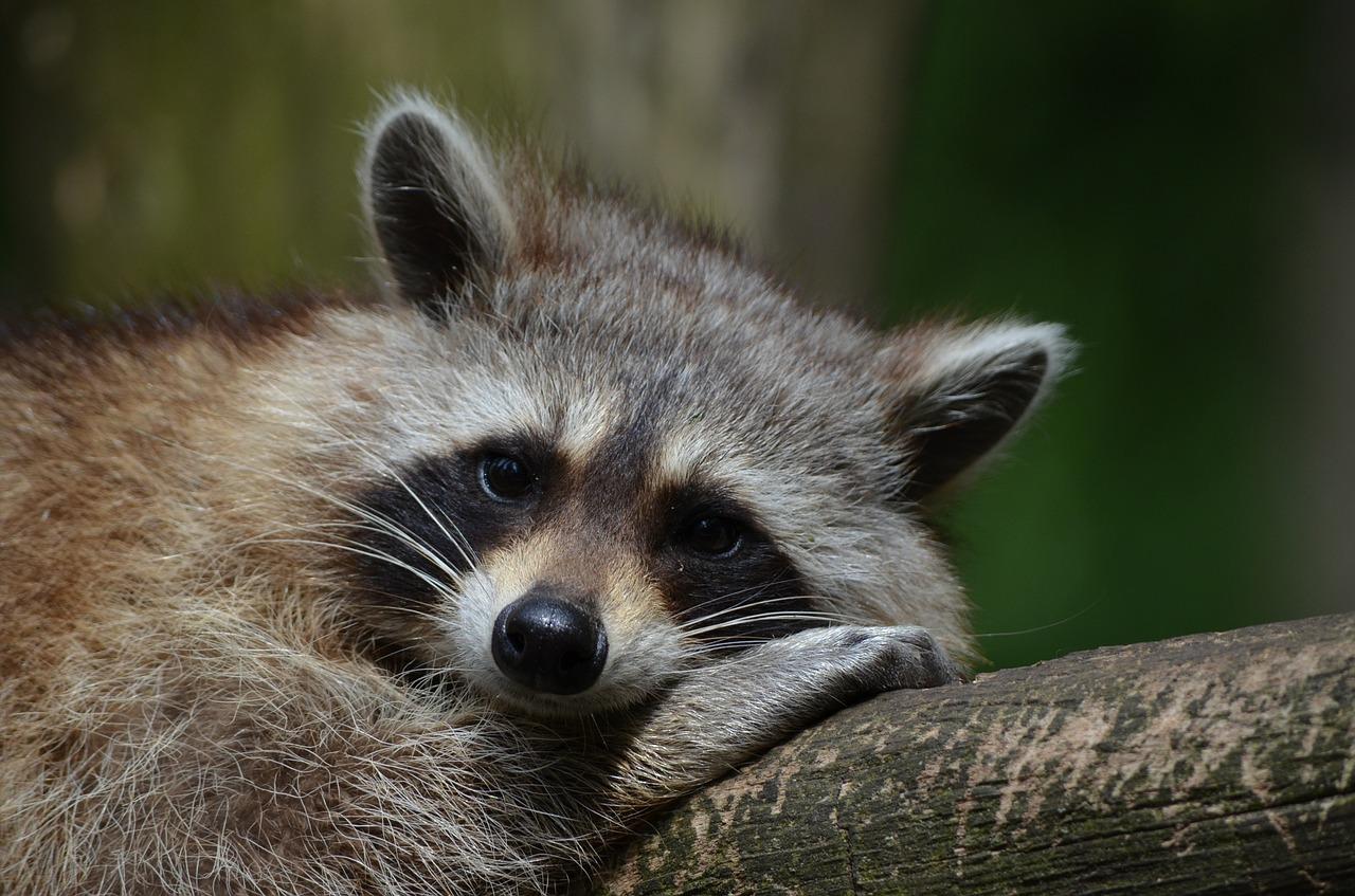 1-raccoon-365366_1280