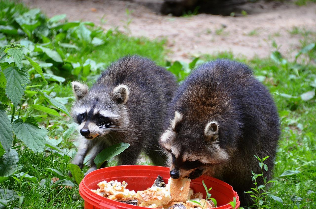 2-raccoon-358151_1280