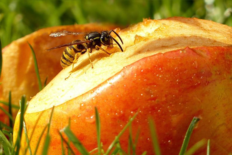 Apfel-klein