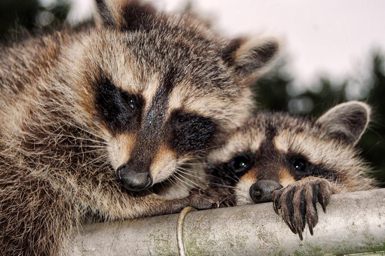 raccoons-1685534_1280