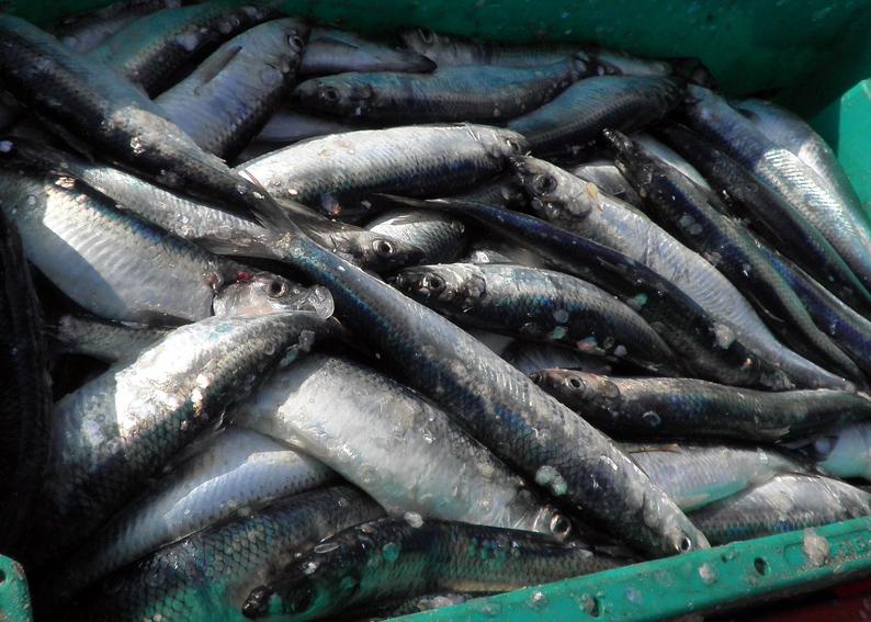 klein-herring-1242193_1280