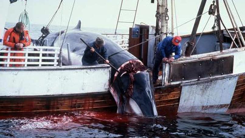 Norwegian whaler