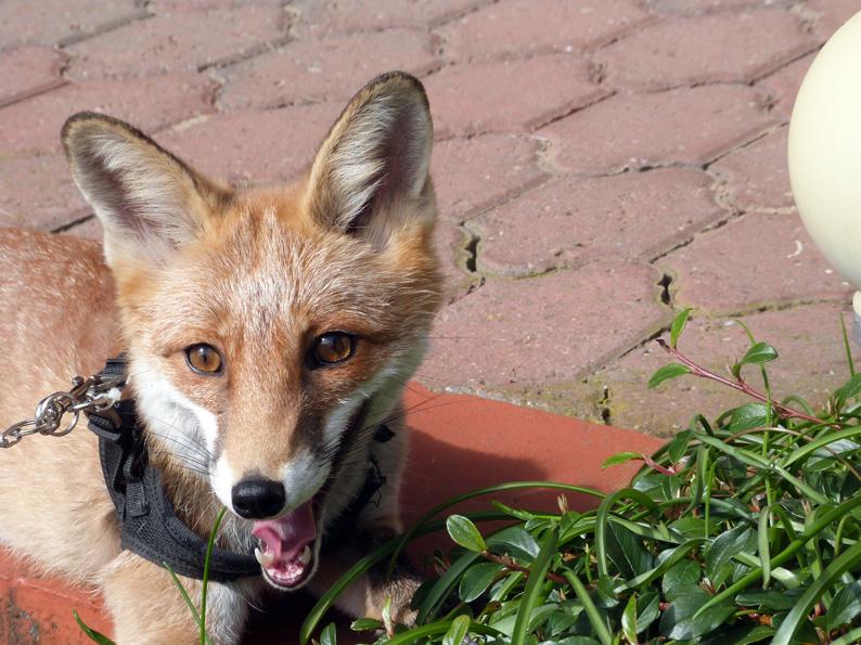 klein-Foxy-2
