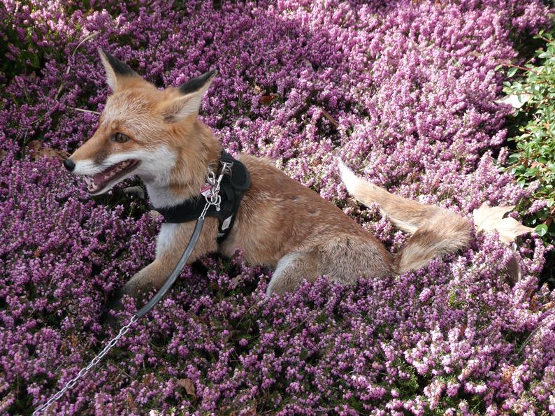 klein-Foxy-4