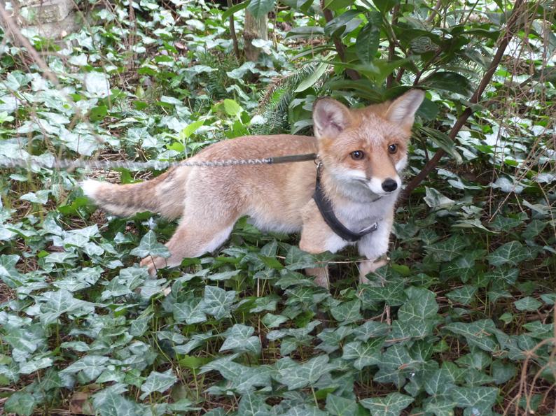 klein-Foxy-5