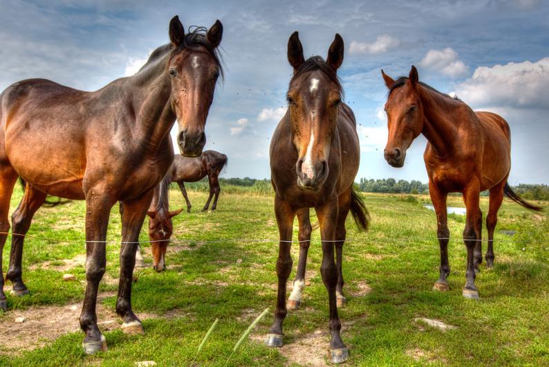 horses-436764_1280