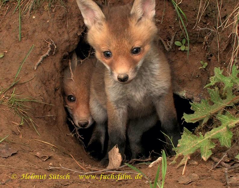 1-Fuchswelpen vor Bau 2 Sütsch