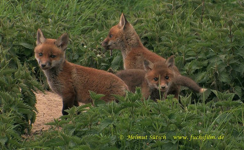 3-Fuchswelpen vor Bau 3 Sütsch