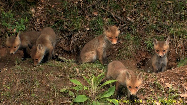 4-Fuchswelpen vor Bau 5 Sütsch