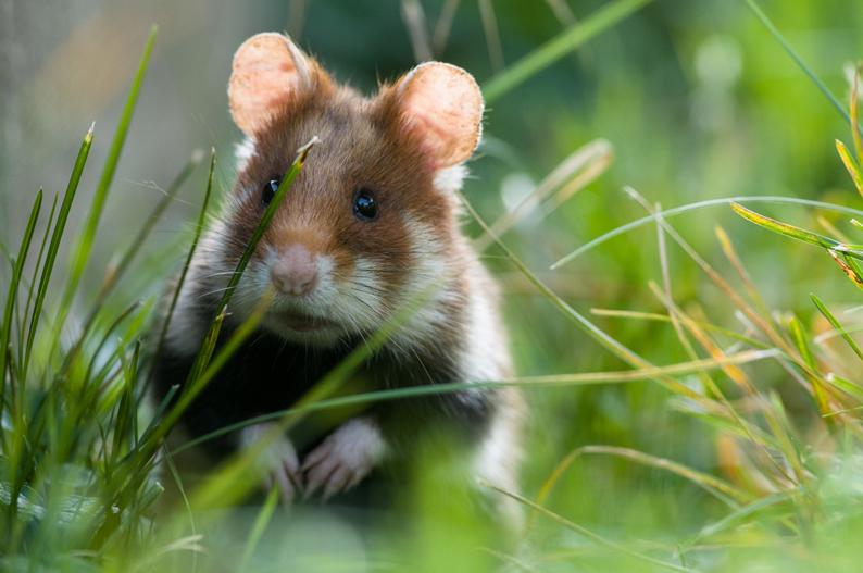 klein-Hamster1