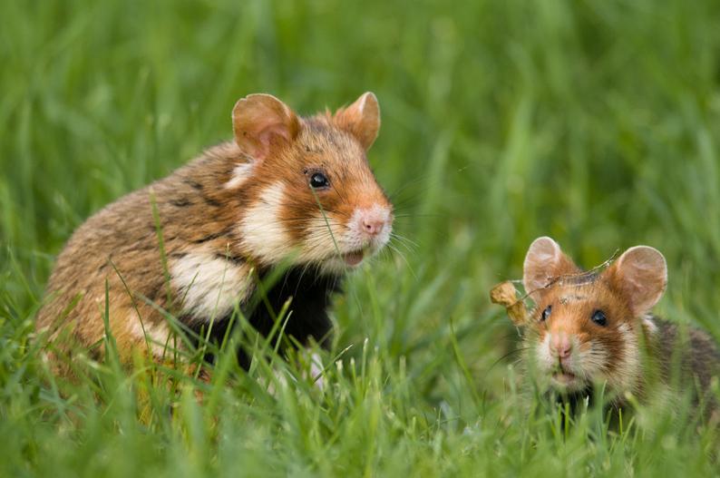 klein-Hamster2